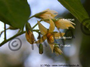 Blütenstand der gelben Cocktailtomate Katinka