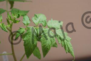 LYC 291 Pflanze 1