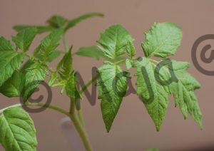 LYC 291 Pflanze 4