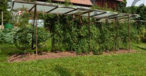 Tomatenanzucht und Pflege: Freilandtomaten benötigen einen Regenschutz