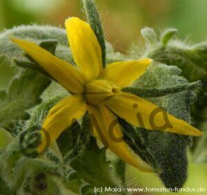 Blüte der haarigen Sorte Wooly Blue Jay - Tomatenanbau 2019