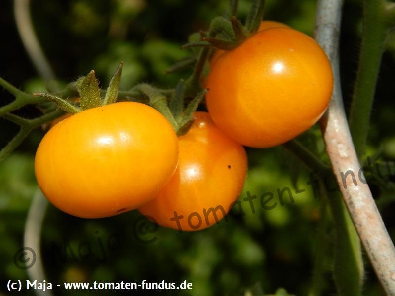 Gelbe bis orangefarbene Minifleischtomate Fablonelystyni