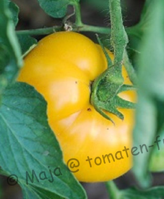 Gelbe Fleischtomate Golden Queen, gezüchtet von Alexander W. Livingston
