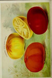 Thorburn's Katalogbild 1893 Lemon Blush u.a.